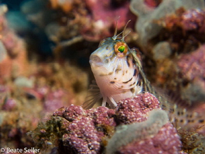 Blenny at a wreck by Beate Seiler